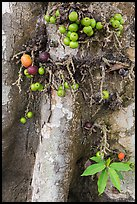 Close-up of bark and fig. My Tho, Vietnam ( color)