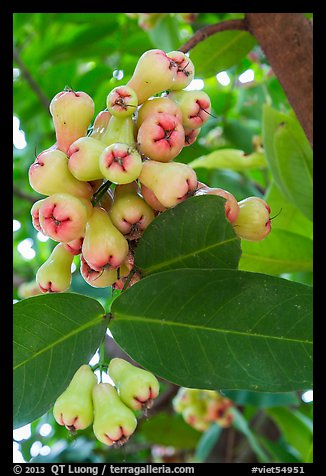Close-up of Malay apples on tree. My Tho, Vietnam (color)
