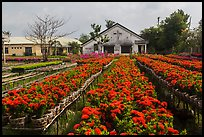 Rows of potted red flowers. Sa Dec, Vietnam (color)