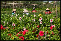 Flowers and workers in flower field. Sa Dec, Vietnam (color)