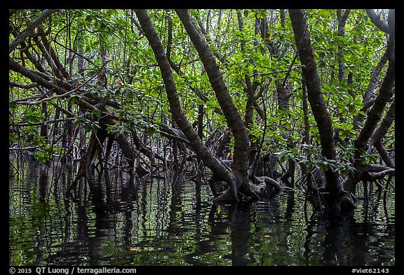 Mangrove forest, Bay Canh Island, Con Dao National Park. Con Dao Islands, Vietnam (color)
