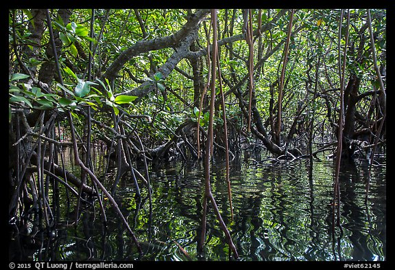 Dense mangroves growing in water, Bay Canh Island, Con Dao National Park. Con Dao Islands, Vietnam (color)