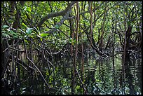 Dense mangroves growing in water, Bay Canh Island, Con Dao National Park. Con Dao Islands, Vietnam ( color)
