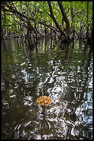 Floating fruit and mangroves, Bay Canh Island, Con Dao National Park. Con Dao Islands, Vietnam ( color)