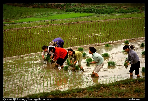 Women tending to rice fields. Vietnam (color)