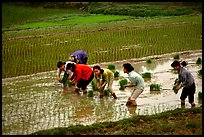 Women tending to rice fields. Vietnam