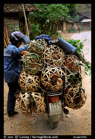 Motorcyclist loaded with live poultry. Northest Vietnam