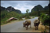Man walking down two water buffaloes down the road, Ma Phuoc Pass area. Northeast Vietnam (color)