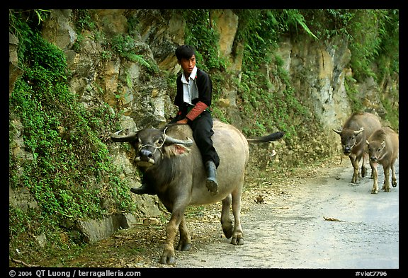 Hmong man riding a water buffalo near Yen Chay. Northwest Vietnam (color)