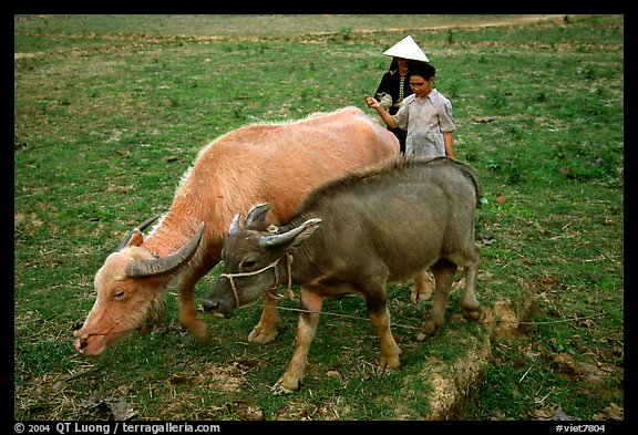Thai women guiding water buffaloes in the field, near Son La. Northwest Vietnam (color)