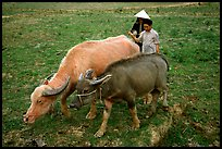 Thai women guiding water buffaloes in the field, near Son La. Northwest Vietnam