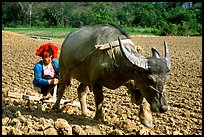 Dzao woman using a water buffao to plow a field, near Tuan Giao. Northwest Vietnam