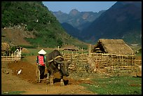 Plowing the fields with a water buffalo close to a hut, near Tuan Giao. Northwest Vietnam (color)
