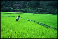 Thai woman tending to the rice fields, Tuan Giao. Northwest Vietnam