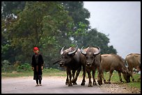 Boy keeping water buffaloes. Sapa, Vietnam