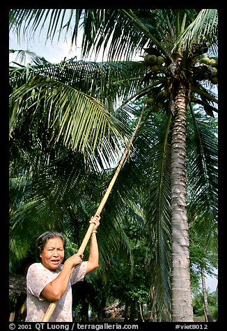 Woman harvesting coconut fruit, near Ben Tre. Mekong Delta, Vietnam