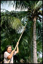 Woman harvesting coconut fruit. Ben Tre, Vietnam