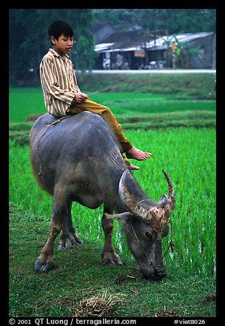 Boy sitting on water buffalo, near the Perfume Pagoda. Vietnam (color)