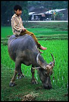 Boy sitting on water buffalo, near the Perfume Pagoda. Vietnam