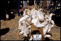 Transporting live ducks to the market. Cholon, Ho Chi Minh City, Vietnam (color)