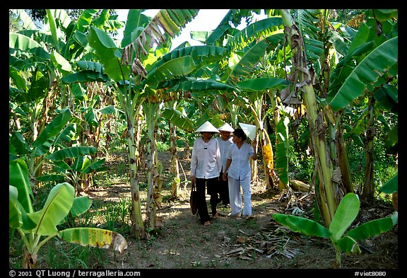 Banana tree plantation in the fertile lands, Ben Tre. Delta region, Vietnam