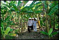 Banana tree plantation in the fertile lands, Ben Tre. Mekong Delta, Vietnam (color)