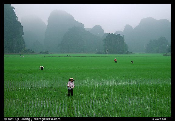 Villagers working in rice fields among karstic mountains of Tam Coc. Ninh Binh,  Vietnam
