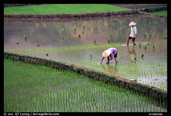 Tending to rice field in the mountains. Vietnam (color)