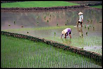 Tending to rice field in the mountains. Vietnam