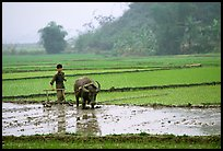Working the rice field with a water buffalo in the mountains. Vietnam
