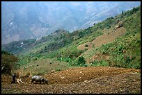Working on a hill side with a water buffalo. Sapa, Vietnam