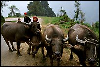 Water buffalo and mountain children. Sapa, Vietnam (color)