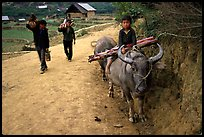 Returning from the fields with the buffalo. Bac Ha, Vietnam (color)