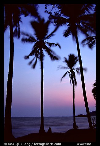 Palm trees swaying in the breeze at sunset. Hong Chong Peninsula, Vietnam