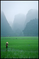Woman tending to the rice fields, with a background of karstic cliffs in the mist. Ninh Binh,  Vietnam