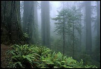 Ferns and Redwoods, Redwood National Park.