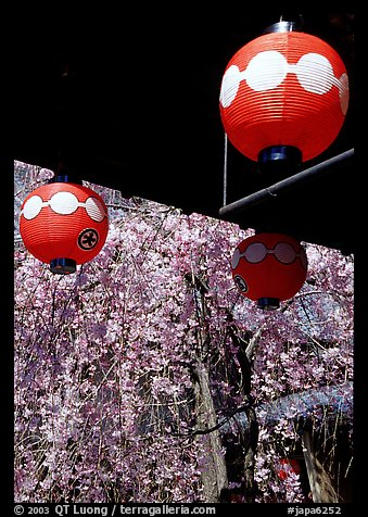 Lanterns and flowering sakura (cherry blossoms), Gion. Kyoto, Japan