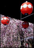 Lanterns and flowering sakura (cherry blossoms), Gion. Kyoto, Japan ( color)