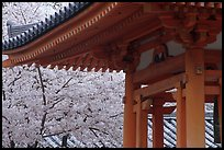 Cherry tree in bloom and temple roof. Kyoto, Japan ( color)