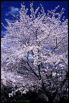 Sakura: flowering cherry tree. Kyoto, Japan ( color)