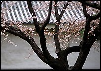 Trunk of cherry tree and temple wall. Kyoto, Japan ( color)