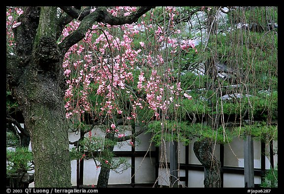 Cherry blossoms, pine tree, and temple wall, Sanjusangen-do Temple. Kyoto, Japan (color)