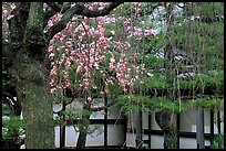 Cherry blossoms, pine tree, and temple wall, Sanjusangen-do Temple. Kyoto, Japan ( color)