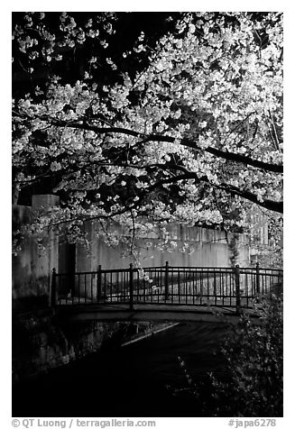 Bridge across a canal and cherry tree in bloom at night. Kyoto, Japan (black and white)