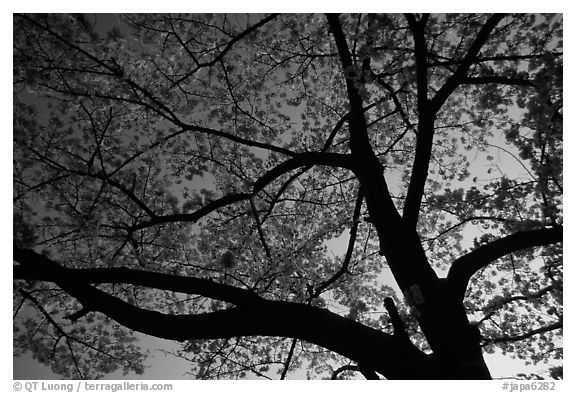 Cherry tree blossoming at sunset. Kyoto, Japan (black and white)