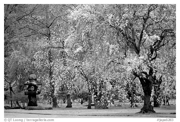 Black and White Picture/Photo: Pink Cherry trees on temple ...