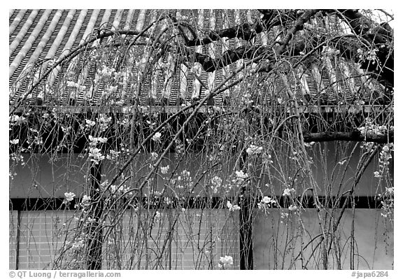 Temple walls and cherry tree in bloom. Kyoto, Japan (black and white)
