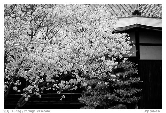Sakura Cherry Blossoms And Temple Detail Kyoto Japan