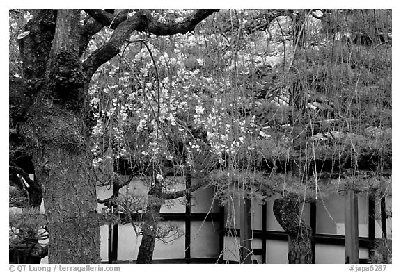 Cherry blossoms, pine tree, and temple wall, Sanjusangen-do Temple. Kyoto, Japan (black and white)