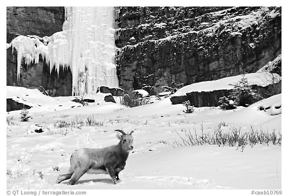 Mountain Goat at the base of a frozen waterfall. Banff National Park, Canadian Rockies, Alberta, Canada (black and white)